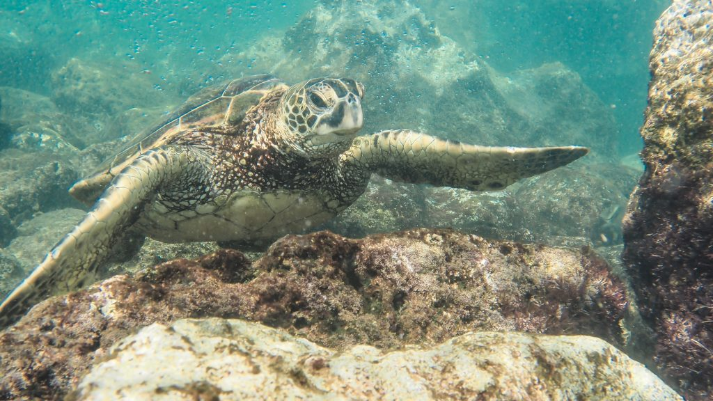 best things to do in Oahu; snorkeling at Hanauma Bay State Park with sea turtles